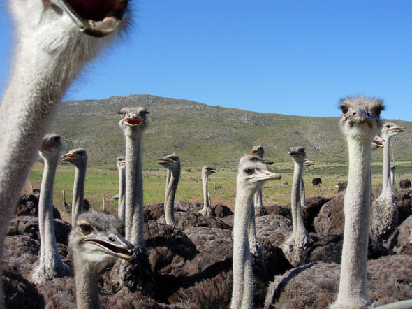 Ostriches by Josh*m, on Flickr
